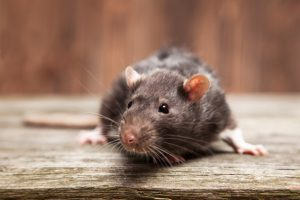rodents in home